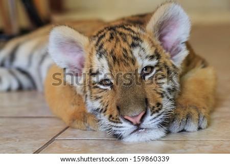 Cute sleepy tiger cub - stock photo