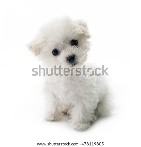 Cute small Bichon Frise puppy at 9 weeks old sitting on white isolated background
