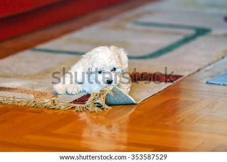 cute small bichon frise puppy playing with rug, notice shallow depth of field - stock photo