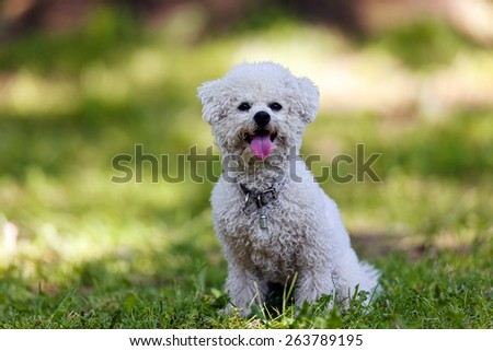 cute small bichon sitting in grass in the park, notice: shallow depth of field - stock photo