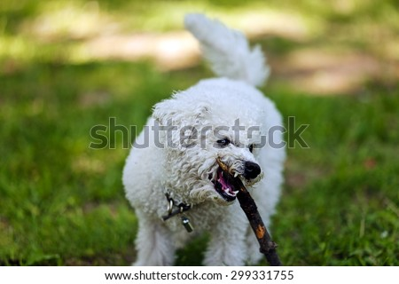 cute small bichon with wooden stick running in the park, notice shallow depth of field - stock photo