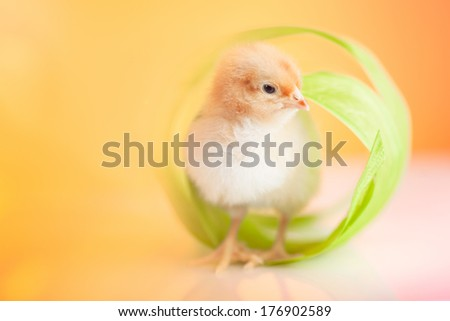 Cute small chicken in green ribbon