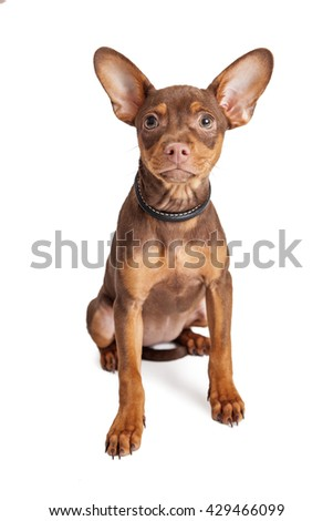 Cute small Chihuahua mixed breed dog sitting on white