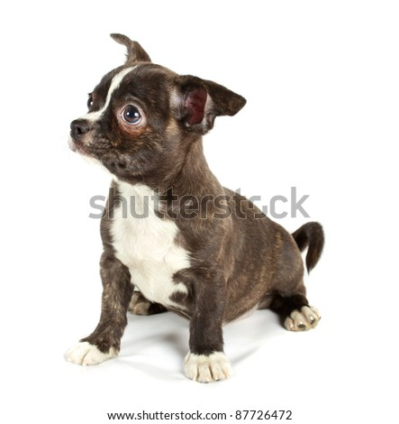 cute small chihuahua puppy sitting on white looking at camera isolated - stock photo