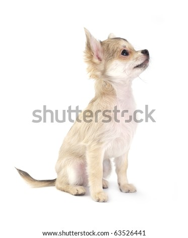 cute small chihuahua puppy sitting on white looking up isolated - stock photo