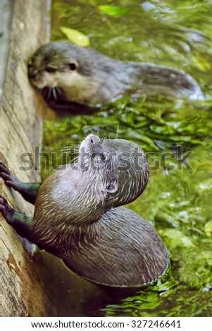 Cute Small-clawed Otter in their natural habitat wild. - stock photo