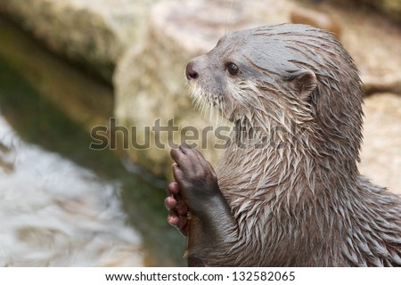 Cute small-clawed otter rubbing its hands - stock photo