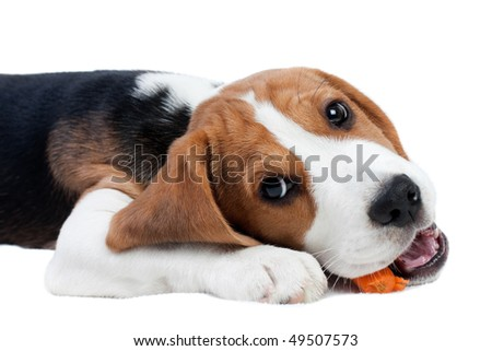 Cute small dog eating carrot. Beagle puppy