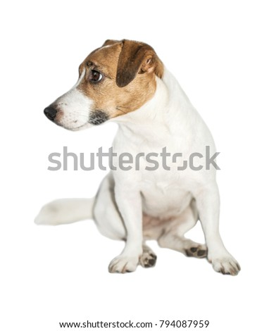 Cute small dog Jack Russell Terrier sitting and looking at left on white isolated background