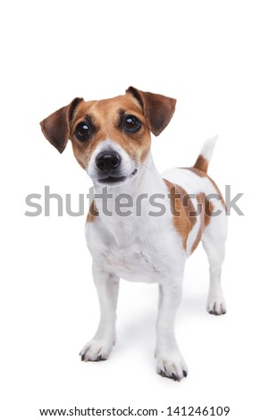 cute small dog Jack Russell terrier standing and attentively looking curiously at the camera - stock photo