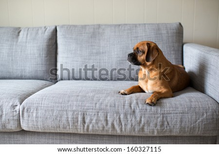Cute Small Dog Looking Outside While Laying on Grey Sofa - stock photo