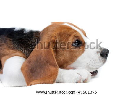 Cute small dog lying on the floor. Beagle puppy - stock photo