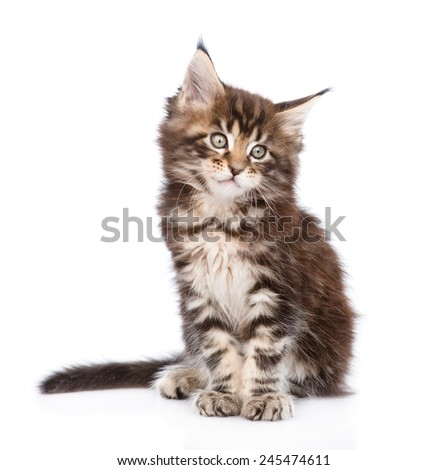 Cute small maine coon cat sitting in front. isolated on white background
