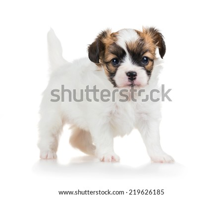 Cute small puppy of breed papillon standing on white background (one month)