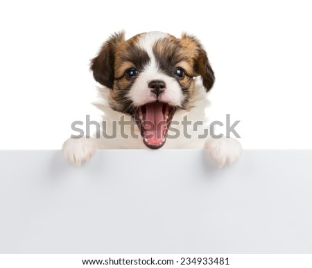 Cute small puppy Papillon with open mouth leans on blank banner - stock photo