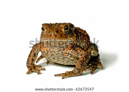 Cute small toad on white background facing the photographer - stock photo