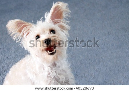 Cute small white lap dog with ears perked up and blue background - stock photo