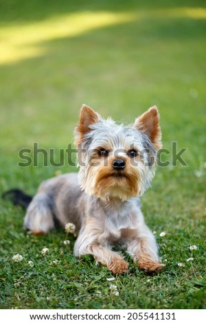Cute small yorkshire terrier is lying on a green lawn outdoor, no people