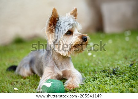 Cute small yorkshire terrier is lying on a green lawn outdoor, no peoplem with green ball - stock photo