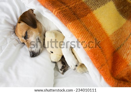 Cute smiling pleased little dog is sleeping in an embrace with a toy Teddy bear - stock photo
