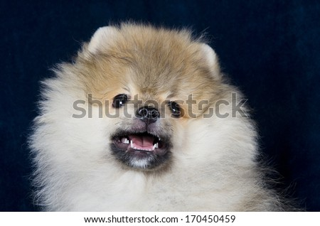 Cute smiling Pomeranian puppy (on a dark blue background) - stock photo