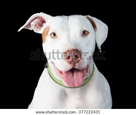 Cute smiling white color Pit Bull dog with mouth open smiling  - stock photo