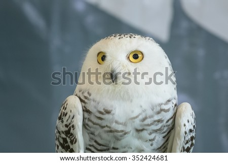 cute snowy owl (Bubo scandiacus) ,on blur background - stock photo