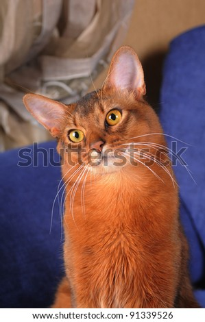 Cute somali cat portrait with head inclined - stock photo