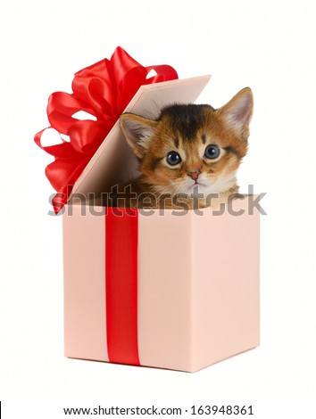 Cute somali kitten in a present box isolated on white background