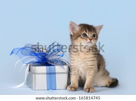 Cute somali kitten sitting near a present box on blue background - stock photo