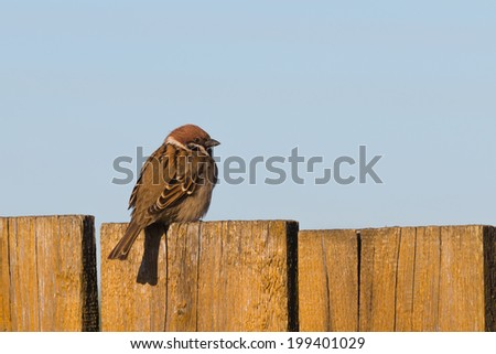 cute sparrow on old painted wooden fence  - stock photo