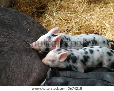 Cute speckled piglets suckling in the hay - stock photo