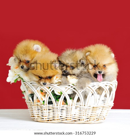 Cute spitz dogs puppies in a wicker basket on red background