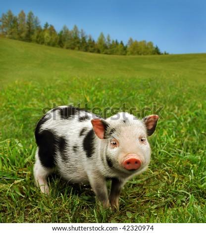Cute spotty piglet - stock photo