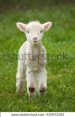 Baby Sheep Stock Images Royalty Free Vectors