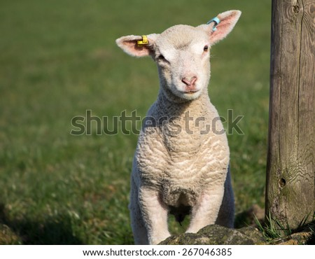 Cute Spring Lambs, Holmfirth, West Yorkshire - stock photo