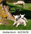 Cute spring lambs in the sun - stock photo