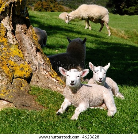 Cute spring lambs in the sun - stock photo