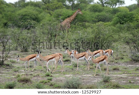 Cute Springbok antelopes (Antidorcas marsupialis) with giraffe in background. Etosha national park. Namibia. - stock photo