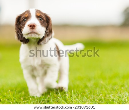 Cute Springer Spaniel pup playing in the garden