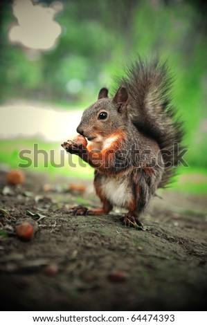 cute squirrel eat hazelnut - stock photo