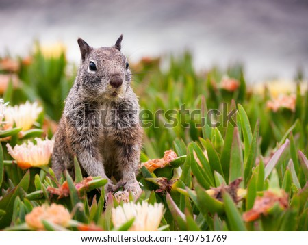 Cute Squirrel having it's meal and peeking out of the grass looking for potential danger. Pacific Ocean in the background - shot in San Diego, California. - stock photo