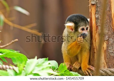 Cute Squirrel monkey (Saimiri) - stock photo