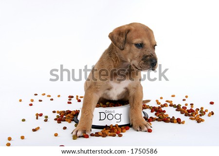 cute St. Bernard/Great Dane puppy in the middle of his food - stock photo