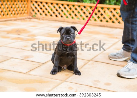 Cute  staffordshire bull terrier puppy with a sad expression on his face sitting on a patio next to a man with jeans and trainers. The puppy is looking at the camera wearing a red lead, leash. - stock photo