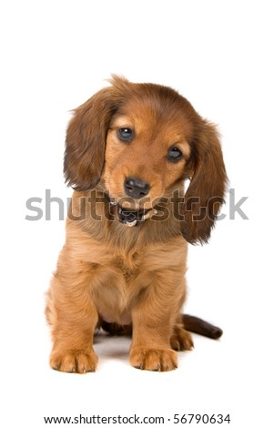 cute standard dachshund puppy looking at camera, isolated on a white background