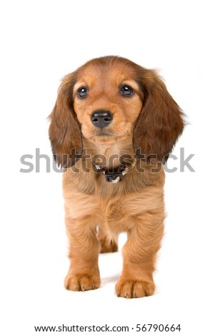 cute standard dachshund puppy looking forward, isolated on a white background