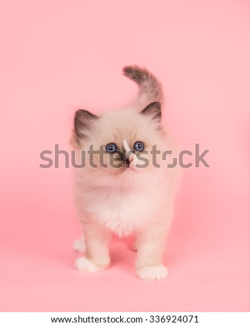 Cute standing rag doll baby cat with blue eyes looking up on a pink background