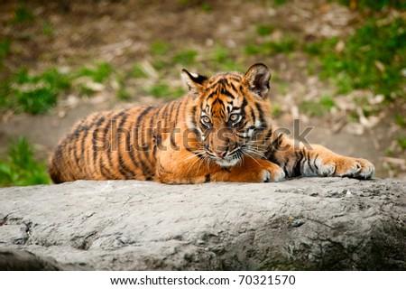 Cute sumatran tiger cub laying on a rock - stock photo