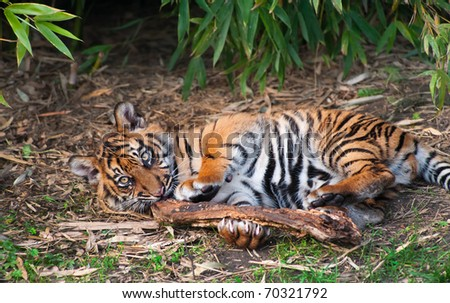 Cute sumatran tiger cub playing on the forest floor - stock photo